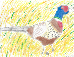 2nd 3rd Grade Honorable Mention Pheasant in Field